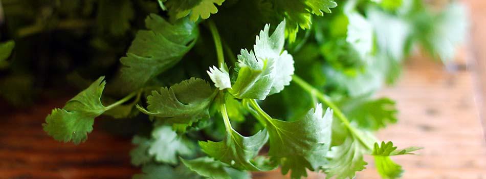 Hierbas aromáticas - Cilantro
