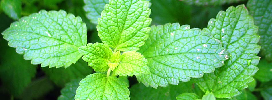 Plantas arom ticas comidas sabrosas y saludables comidiendo for Asociacion de plantas aromaticas