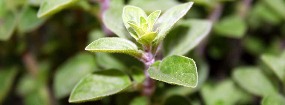 Hierbas aromáticas - Oregano