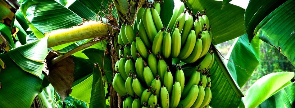 Plátano. Beneficios y riesgos - Planta de platanero